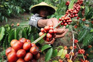 Cafea durabilă